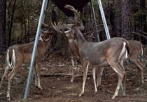 Deer Attractants, Feed, and Feeders